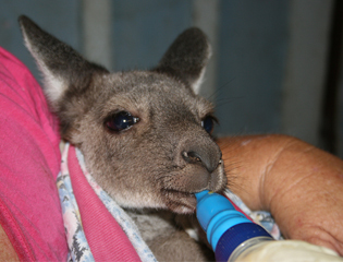 Wildlife emergency packs help rescue injured joeys